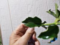 Identificering af ukendt plante