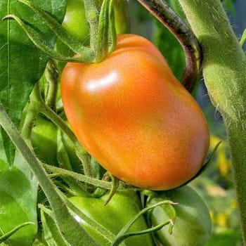 Dyrkning af grøntsager og frugt i drivhus